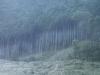 朝靄と木立