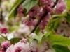 菊桜と兼六園菊桜
