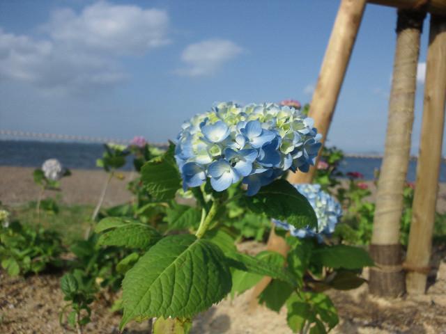 琵琶湖岸のあじさい