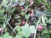 ヘビイチゴの実(茶臼山公園)