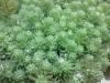 多肉植物についた水滴(自宅)