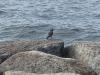 琵琶湖岸のムクドリ