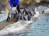 フンボルトペンギン(海響館)