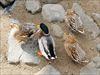 壇具川(だんぐがわ)の鴨