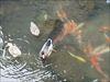 壇具川(だんぐがわ)の鴨と鯉